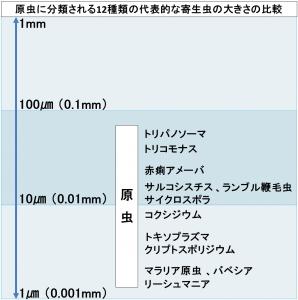 原虫に分類される12種類の代表的な寄生虫の大きさの比較